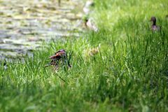 Wild ducks - duck family, duck couple. Female and male wild ducks in the grass heading to the water royalty free stock photography