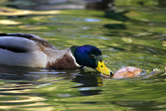 Wild ducks eating bread Stock Photography