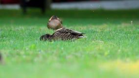 Wild ducks stock video