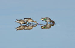 Wild ducks family. Feeding in the lake royalty free stock photos