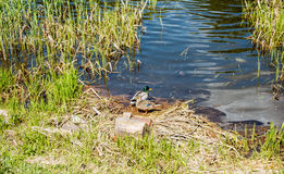 Wild ducks. A family of wild ducks live on the river bank Royalty Free Stock Images