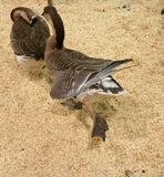 Wild ducks. Feathers birds stretching legs Stock Photos