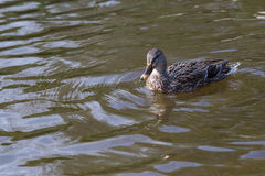 Wild ducks. A female of a wild duck Royalty Free Stock Image
