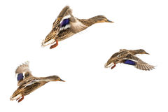 Wild ducks. In flight isolated on white Royalty Free Stock Photography