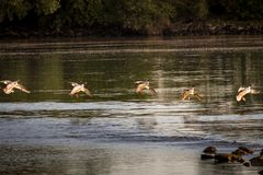 wild ducks in flight over the river preparing for a funny landing stock images