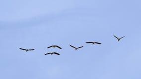 Wild ducks in flight on a soft blue sky - Anas platyrhynchos. Six mallards in flight formation on a blue sky -  Anas platyrhynchos Royalty Free Stock Image