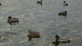 Wild ducks float in the forest lake stock footage