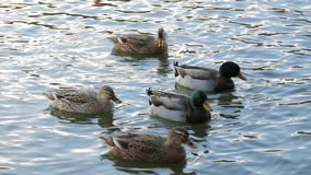 Wild Ducks Floating In The Pond. Two males and three females of wild ducks peacefully floating in the rippled water of the pond stock video