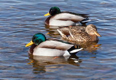 Wild ducks are floating in the water Royalty Free Stock Photography
