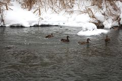 Wild duck flock swims in spring river stock images