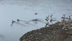 Wild ducks Stock Image