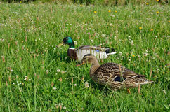 Wild ducks in the flowering meadow. The pair of mallards are grazing in the green grass Royalty Free Stock Photo