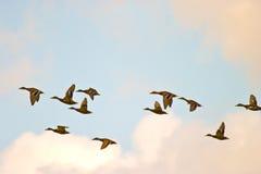 Wild ducks flying. Flighting wild birds on sky near samall lake royalty free stock photos