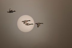 Wild ducks flying in a foggy sunset Stock Photography