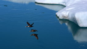 Wild ducks flying in formation Stock Photo