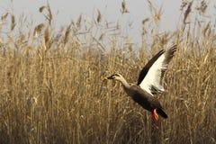 Wild ducks flying gracefully Stock Photos