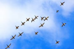 Wild ducks are flying high in the blue sky with white clouds. Royalty Free Stock Photography