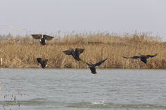 Wild ducks are flying in the lake. Winter lake aquatic plants withered and yellow, migratory birds wintering in the wetland near Shanghai Stock Images