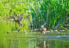 Wild ducks flying over lake Royalty Free Stock Images