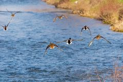 Wild ducks flying. Over the river Stock Photos