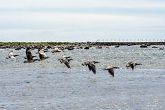 Wild ducks flying. Over the sea Stock Images