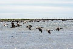 Wild ducks flying Stock Images