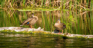 Wild ducks before flying to warmer climes Stock Photo