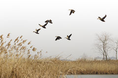 Wild ducks are flying in the wetland. Winter lake aquatic plants withered and yellow, migratory birds wintering in the wetland near Shanghai Stock Images