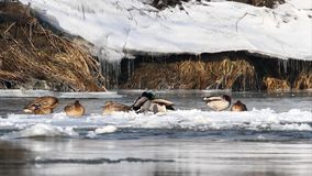 Wild ducks on frozen river stock video