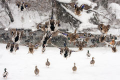 Wild Ducks on frozen snow winter lake landscape. Royalty Free Stock Photo