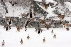 Wild Ducks on frozen snow winter lake landscape. Wild Ducks on frozen snow winter lake landscape, photo taken in Romania Royalty Free Stock Photo