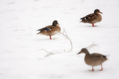Wild Ducks on frozen snow winter lake landscape. Stock Photos