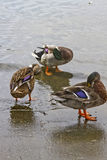 Wild Ducks Grooming Stock Images