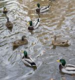 Wild ducks. High angle shot of some swimming wild ducks Royalty Free Stock Photography