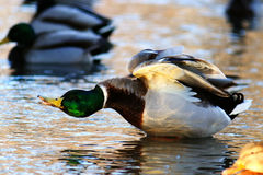 Wild ducks i. N pond water Royalty Free Stock Image