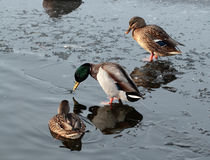 Wild ducks on the ice Royalty Free Stock Photos