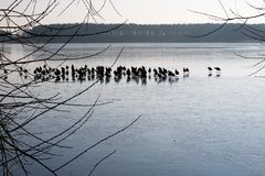 Wild ducks on the ice on the lake. A flock of ducks on ice in th stock photo