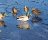 Wild ducks on the ice in late autumn. Females and males mallard on the ice of a pond in late fall Stock Photography