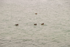 Wild Ducks in the icy water of the Black Sea near the waterfront of Pomorie in Bulgaria Royalty Free Stock Image