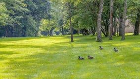 Wild ducks in idyllic park scenery Royalty Free Stock Photo