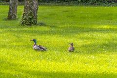 Wild ducks in idyllic park scenery Royalty Free Stock Photos