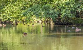 Wild ducks in a idyllic pond. Peaceful sunny park scenery including some mallards swimming in a idyllic small lake at summer time stock photos