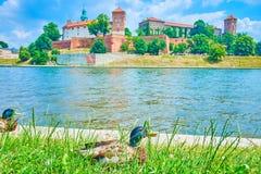 Free Wild Ducks In Krakow, Poland Royalty Free Stock Photography - 123400507