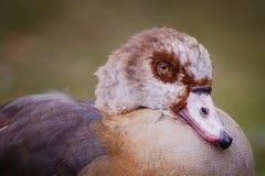 Wild ducks. Interrupted morning sleep wild ducks Stock Photography