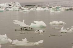 Wild ducks in Jokulsarlon lagoon - Iceland. Royalty Free Stock Image