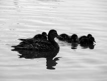 Wild ducks on the lake close up. Closeup Stock Photo