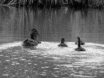 Wild ducks on the lake close up. Closeup Stock Photos