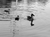 Wild ducks on the lake close up. Closeup Royalty Free Stock Photography