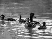 Wild ducks on the lake close up. Closeup Stock Photography