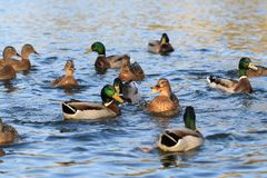 Wild ducks in the lake Stock Images